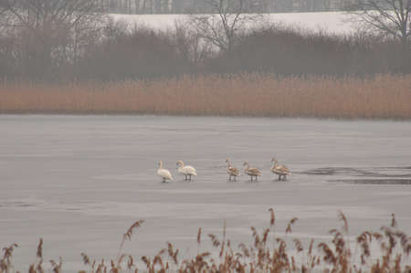 Swans on the lake in winter on the ice photo