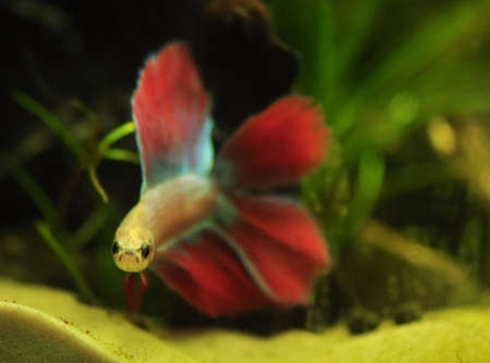 Betta splendens Stock Photo - 12190395