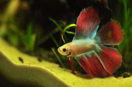 blue siamese: Betta splendens