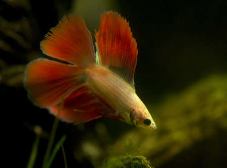 Betta splendens Stock Photo - 12190379