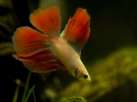 Betta splendens Stock Photo - 12190383