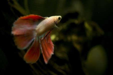 siamese fighting fish: Betta splendens