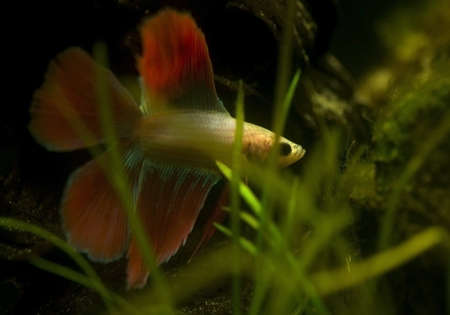 Betta splendens photo