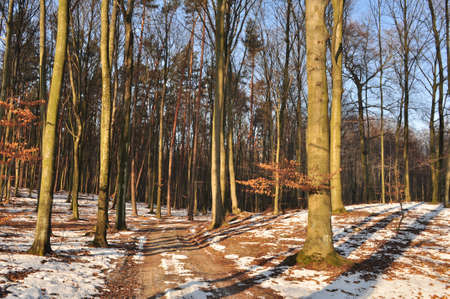 beech forest in winter photo