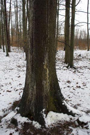 Stock spruce resin with leaks - flooding sidewalks bark beetles - defend against death Stock Photo - 12190464