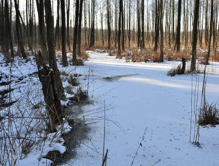 alder: Alder forest Stock Photo