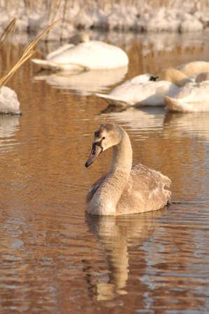 Swans Stock Photo - 12190271