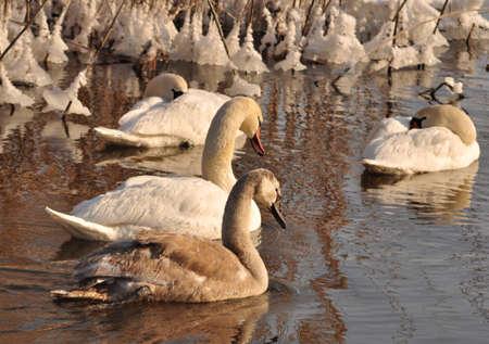 Swans Stock Photo - 12190233