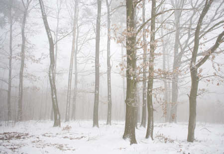 Winter forest in the fog photo