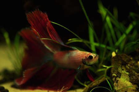 Betta splendens Stock Photo - 12697198
