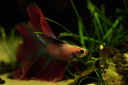 Betta splendens Stock Photo - 12697208