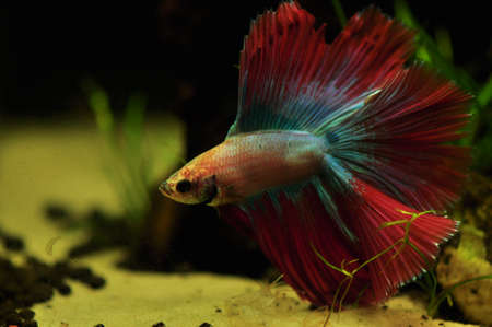 Betta splendens Stock Photo - 12697451