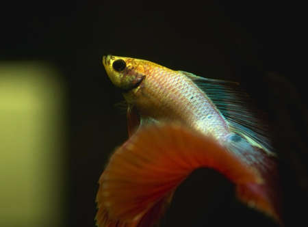 Betta splendens Stock Photo - 12697150