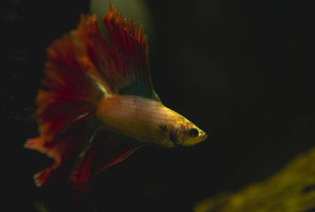 Betta splendens Stock Photo - 12697121