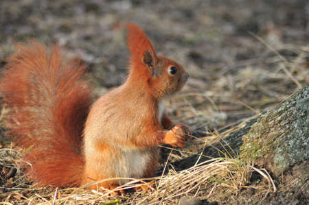 vulgaris: Squirrel - Sciurus vulgaris
