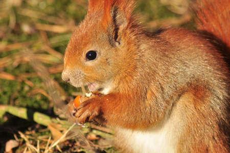 sciurus: Squirrel - Sciurus vulgaris