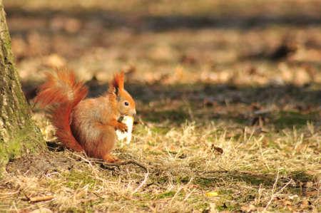 Squirrel - Sciurus vulgaris photo