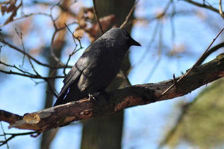 Corvus monedula Stock Photo - 12697255