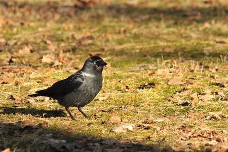 Corvus monedula Stock Photo - 12697495