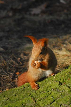 Squirrel - Sciurus vulgaris Stock Photo - 12697400