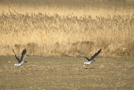 anser: greylag goose - Anser anser