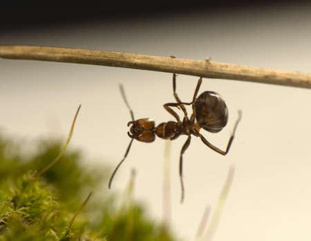 antrey: Ant - Formica