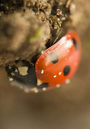 Ladybird - Coccinella septempunctata Stock Photo - 12697672