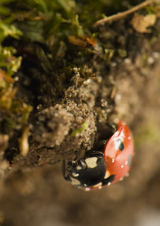 septempunctata: Ladybird - Coccinella septempunctata