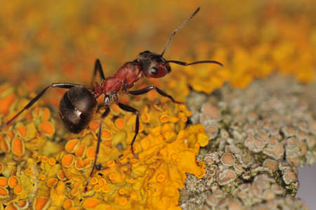 Ant - Formica Stock Photo - 12697805