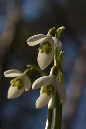Snowdrop - Galanthus nivalis photo