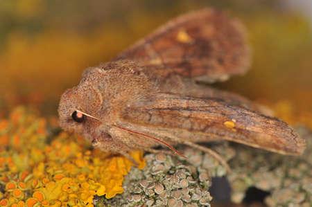 Moth - Eupsilia transversa Stock Photo - 12697900