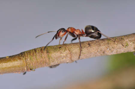 Ant - Formica Stock Photo - 12697773