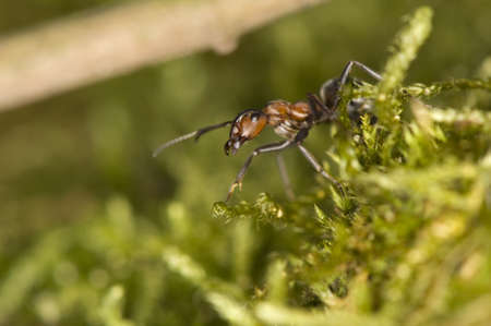 Ant - Formica photo