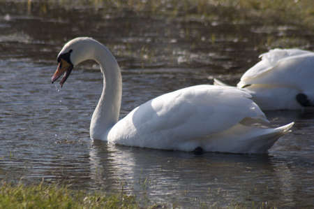 Swan - Cygnus olor Stock Photo - 12699420
