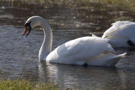 Swan - Cygnus olor Stock Photo - 12699420