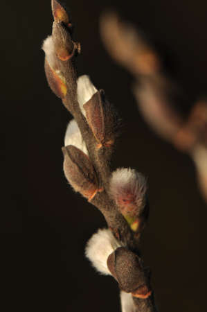 Catkin photo