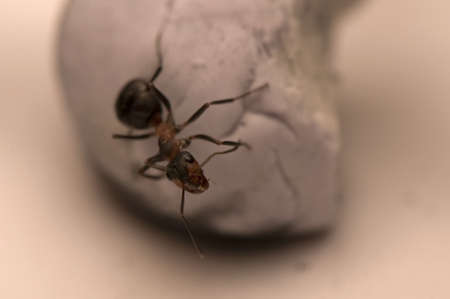 Ant - Formica Stock Photo - 12887367