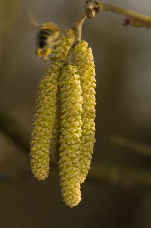 hamamelis: hazel flower