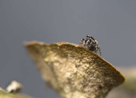 Salticus - jumping spider photo