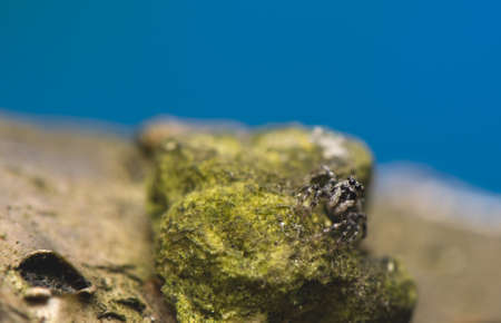 salticidae: Salticus - jumping spider