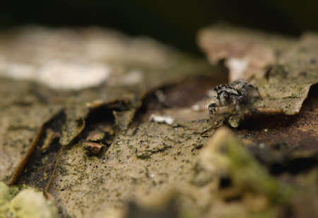 jumping spider: Salticus - jumping spider