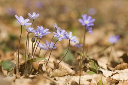 Hepatica nobilis photo