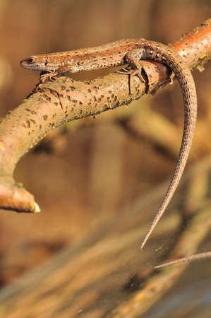 zootoca: Zootoca vivipara Stock Photo