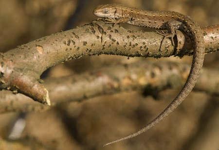vivipara: Zootoca vivipara Stock Photo