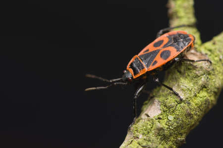 Pyrrhocoris apterus Stock Photo - 13029535