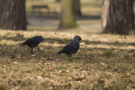 jackdaw Stock Photo - 13030285