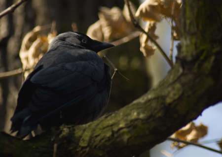 Jackdaw Stock Photo - 13087488