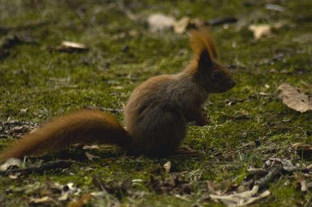 Sciurus squirrel photo