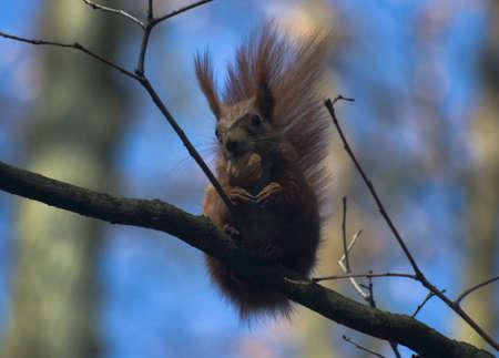 sciurus: Sciurus squirrel