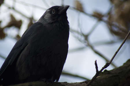 Jackdaw Stock Photo - 13087518